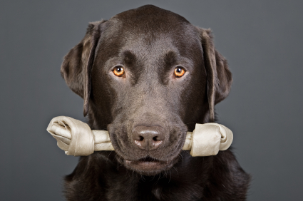 Shot of a Handsome Labrador with Bone in his Mouth